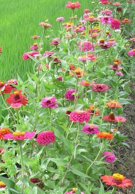 同じ花ばっかりですが母の花壇 28.7.13