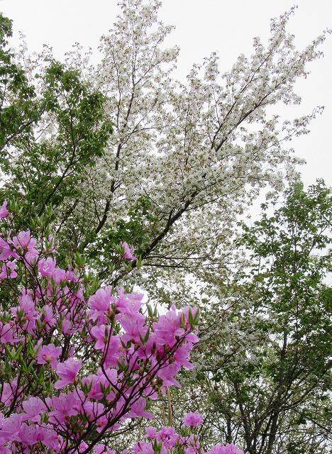 ツツジと桜と 五色台 28.4.12