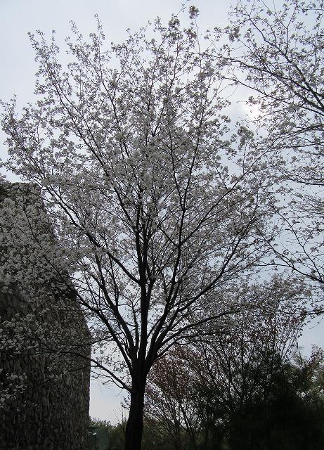 桜 縦 民俗資料館 五色台 28.4.12