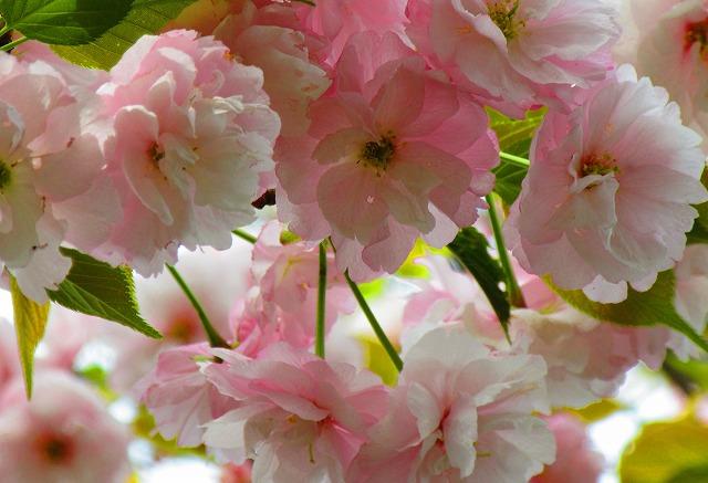 満開の八重の優しい桜アップ 28.4.12