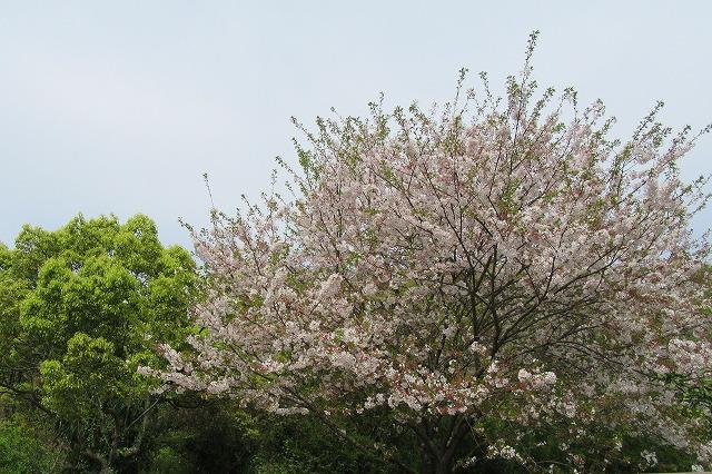 染井吉野らしき桜も咲いてる 28.4.12