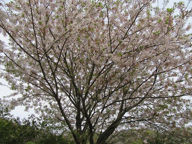 染井吉野咲いてます 28.4.12