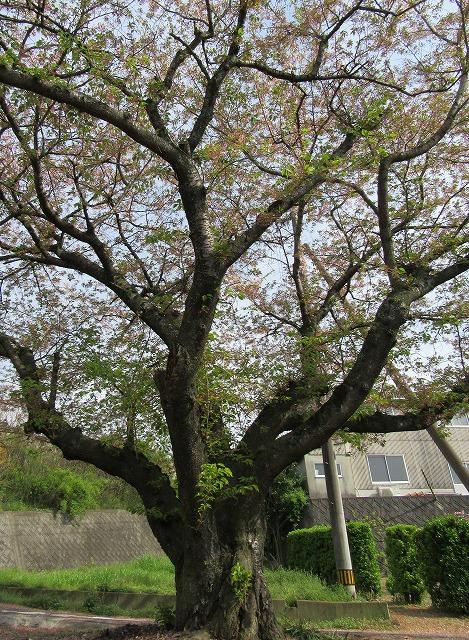 花立碑の桜 来年はここです 28.4.12