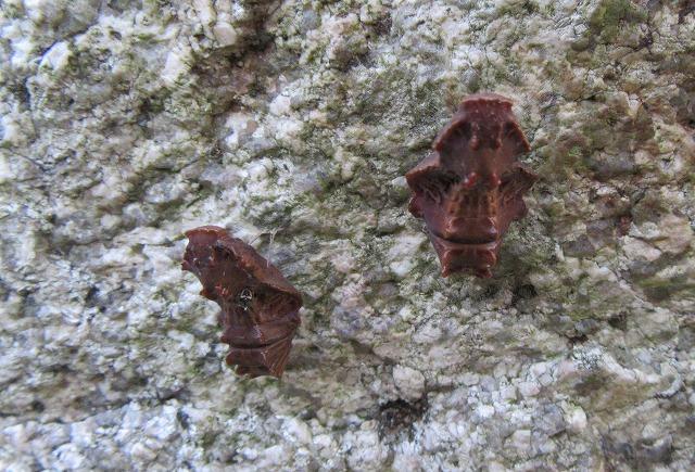 ジャコウアゲハの蛹 2 28.4.20