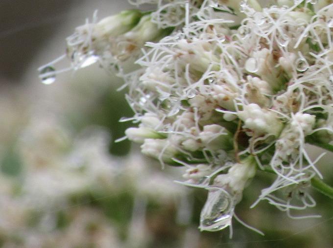 藤袴の花、よく見ると滴が綺麗 28.10.23