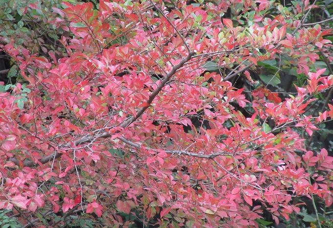 紅葉した木 爺神山の上の池のとこ 28.10.29