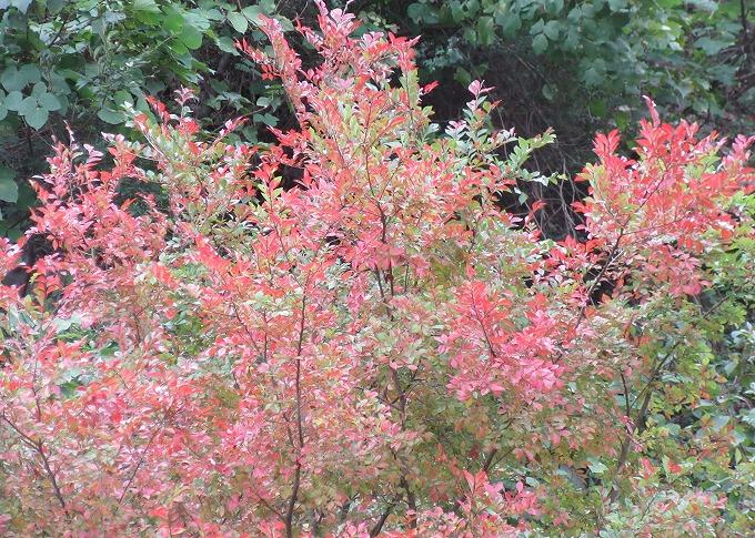 紅葉した木 爺神山 28.10.29
