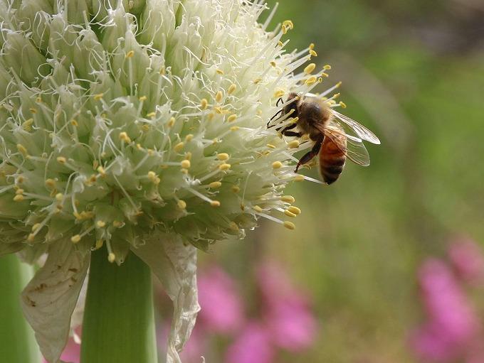 ネギの花とミツバチ 28.6.5