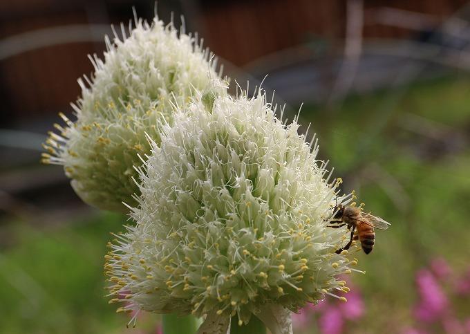 ネギ坊主とミツバチ 28.6.5