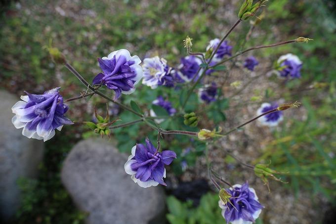 青色オダマキ 28.5.5