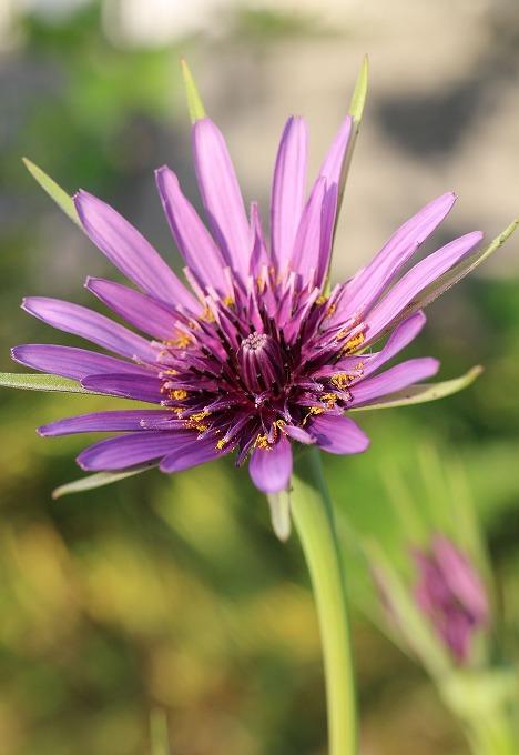 サラダゴボウの花 28.5.3