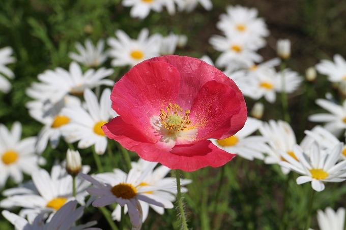 白花の中のポピー赤 28.5.12