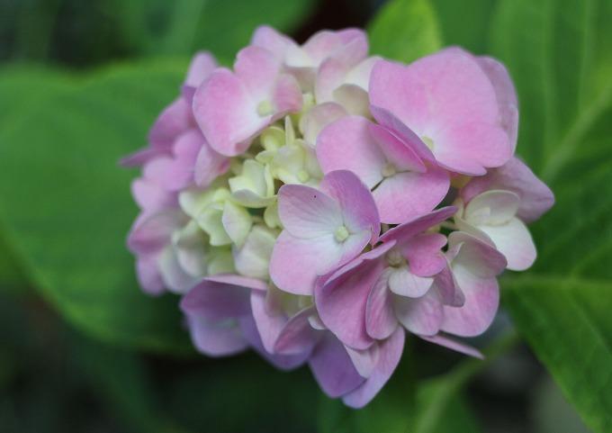紫陽花小さい 桃 28.6.14