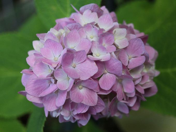 紫陽花の花 ピンク 28.6.14