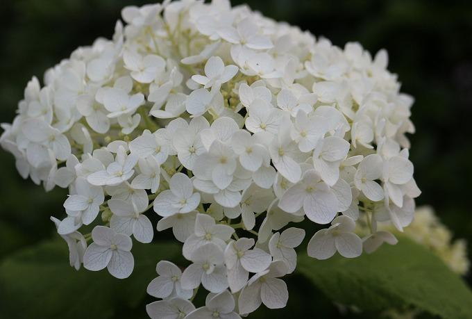 アナベル大きい花 28.6.14