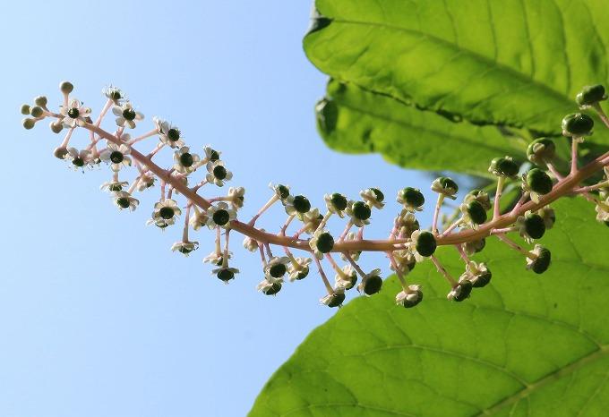ヨウシュヤマゴボウの花 28.9.11