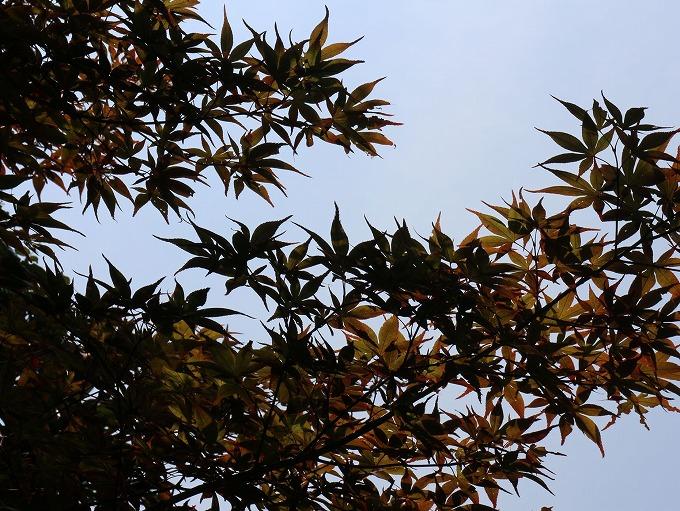 秋を感じてる楓 28.10.2
