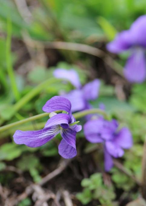 菫の花 縦 28.10.31