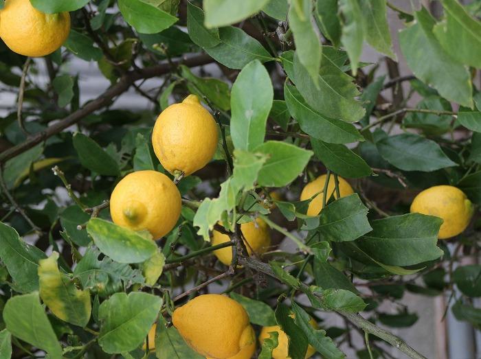 レモンいろいろ 28.12.28