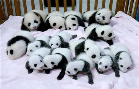 パンダ赤ちゃん3