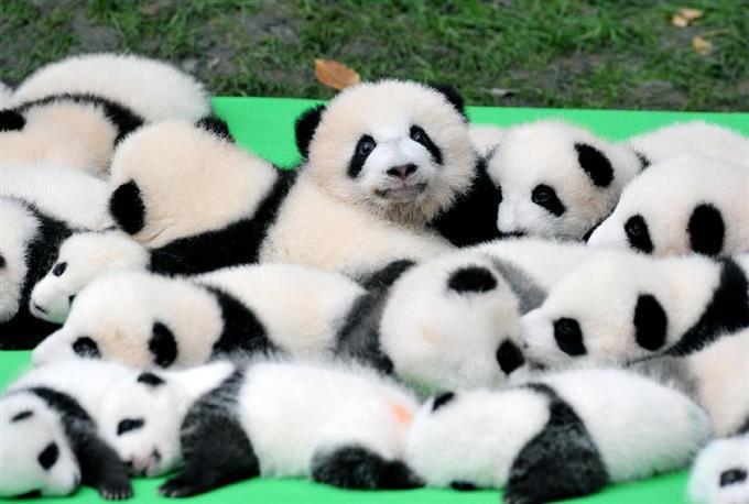 パンダ赤ちゃん2