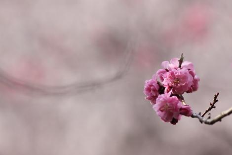 2016八重桜