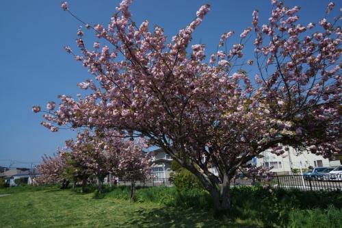 4桜 (1200x800)