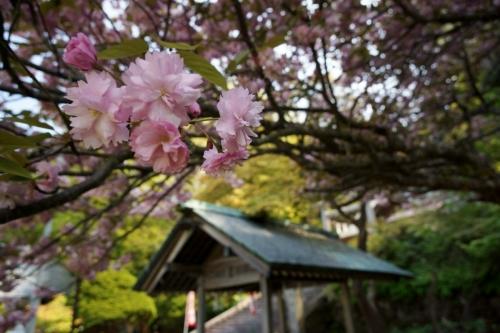 3桜 (1200x800)