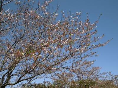 桜は・・・
