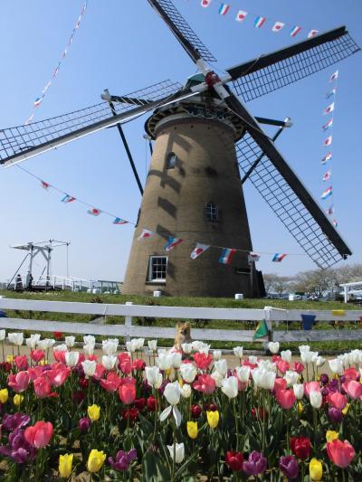 モコと風車とチューリップ
