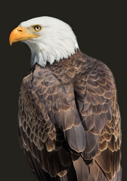 bald_eagle_best_hd_wallpapers_6733600f547650019b6a10a9a528c2a2_raw.jpg
