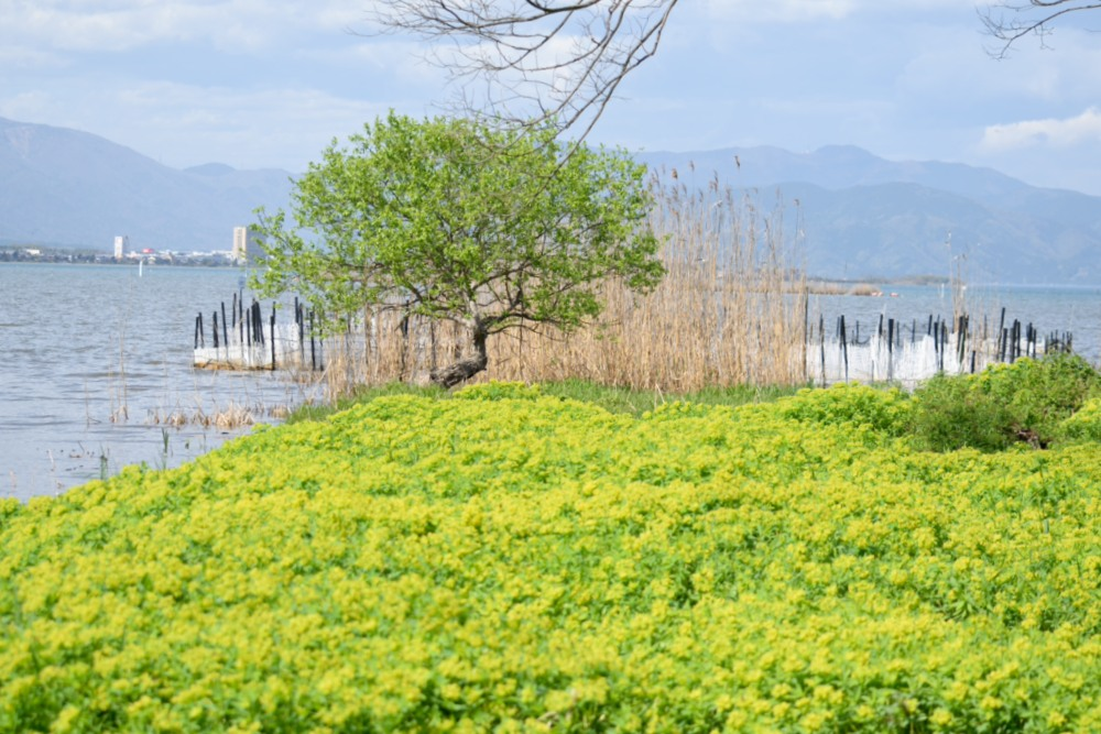 琵琶湖と群生DSC_8341