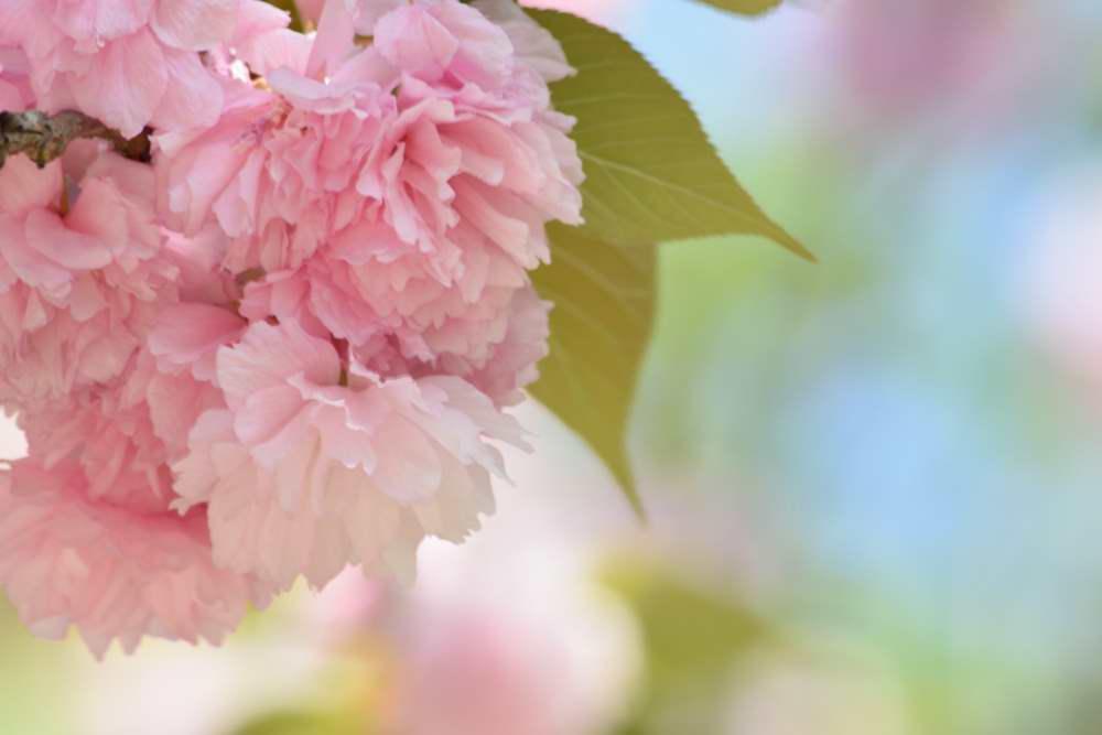 八重桜DSC_8598