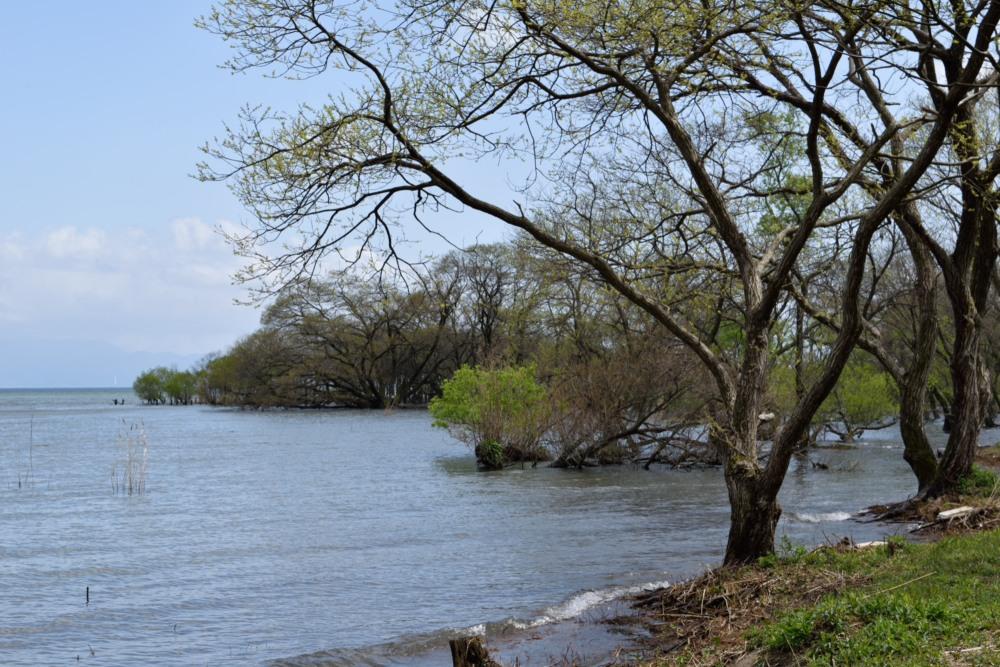 琵琶湖樹DSC_8229