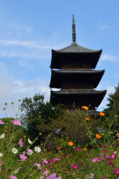 備中国分寺のコスモスDSC_0908