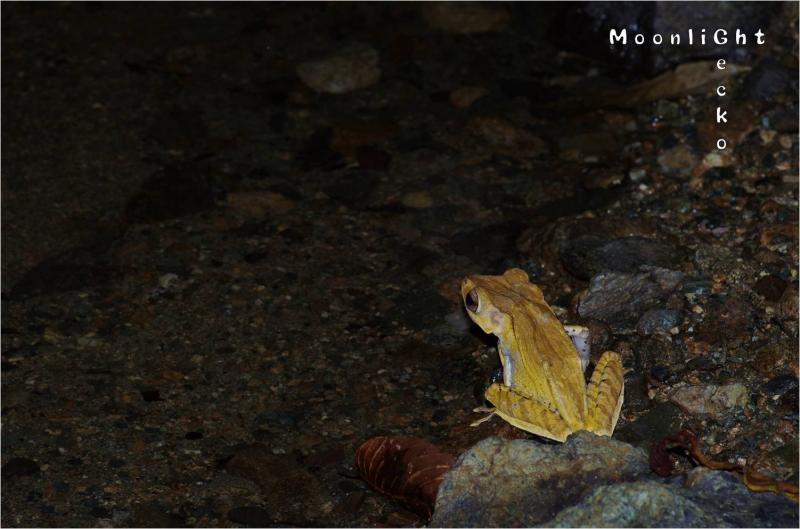 カブトシロアゴガエル