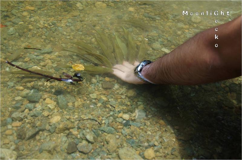 コイ科魚類