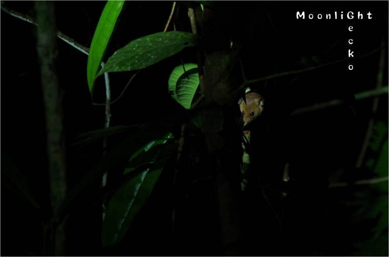 オナガマウス