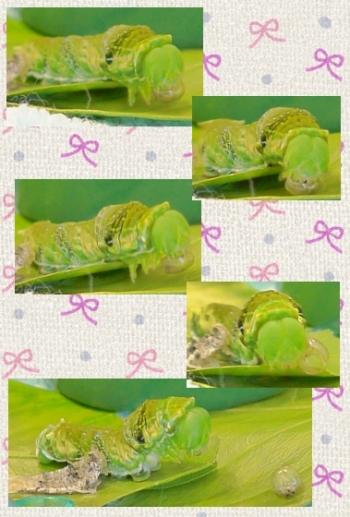 160901_154730_ナガサキアゲハ蝶の脱皮②clg
