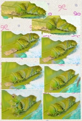 160901_170740_ナガサキアゲハ蝶の脱皮③clg