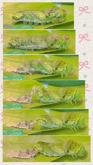 160901_153458_ナガサキアゲハ蝶の脱皮①clg