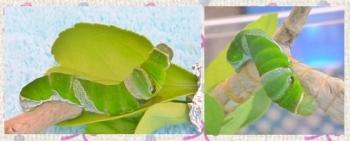 160903_153504_芋虫3日目clg