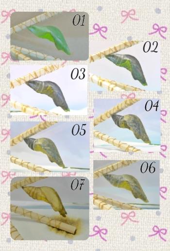 160920_1羽化前蛹変化clg