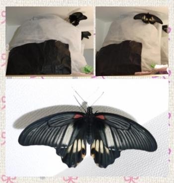 160921_ナガサキアゲハ蝶さよならclg