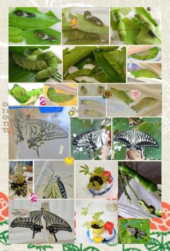 160821_預かったナミアゲハ蝶の幼虫clg