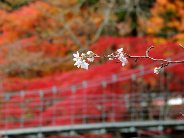 N8574寒桜