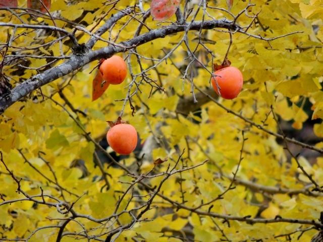 N8603銀杏に柿