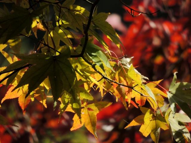 N8545色づく葉