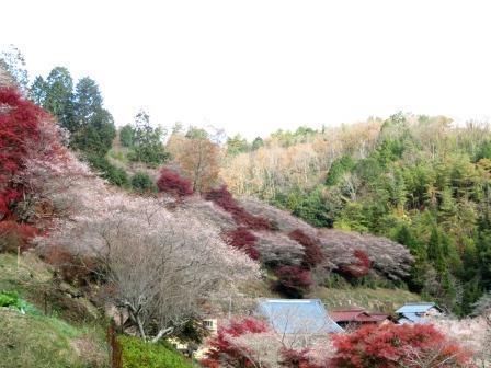 11/25四季桜1