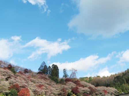 11/25四季桜2